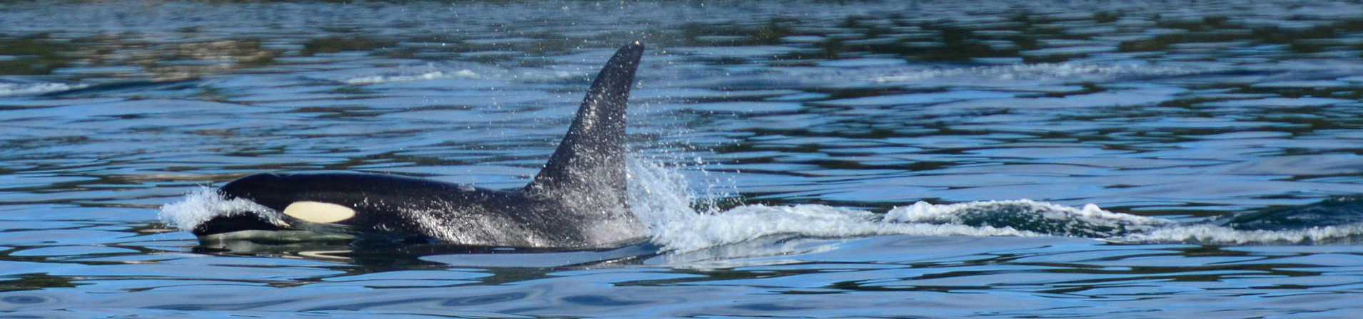 A black and white orca breaching blue ocean water