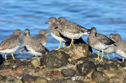 Grey and white speckled shorebirds on rocks at the waters edge
