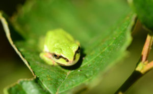 small green tree frog on a darker green leaf in the sunshine