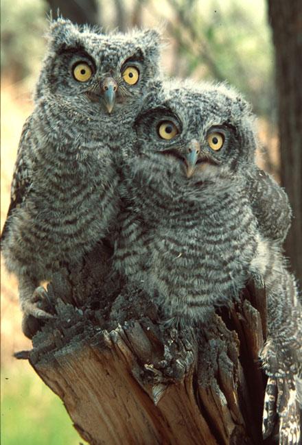 Juvenile Western Screech Owl