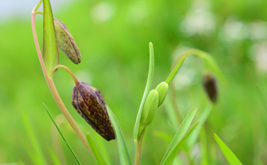 Chocolate Lily; Kristine Mayes, Islands Trust