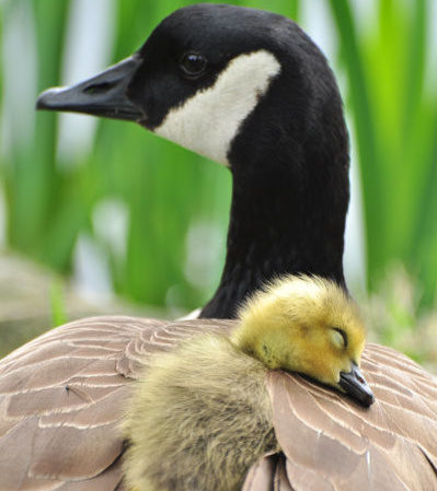 A Canadian goose cuddling it's yellow gosling with green grasses in the background