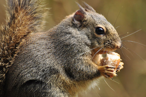 A close up of a grey and brown squirrel eating a piece of bread