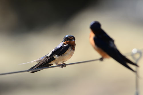 two small black and orange swallows on a wire with a blurry background