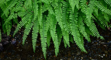 hanging green ferns over small rocks and pebbles