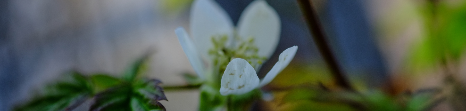 Delicate white flower on a green stem