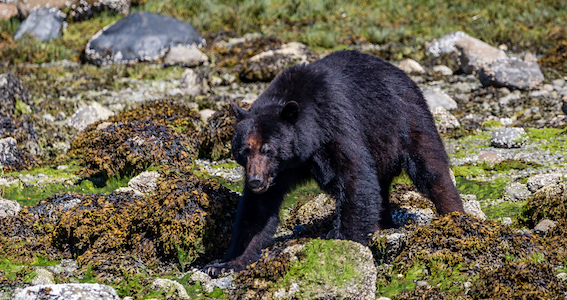 A black bear walking towards the water