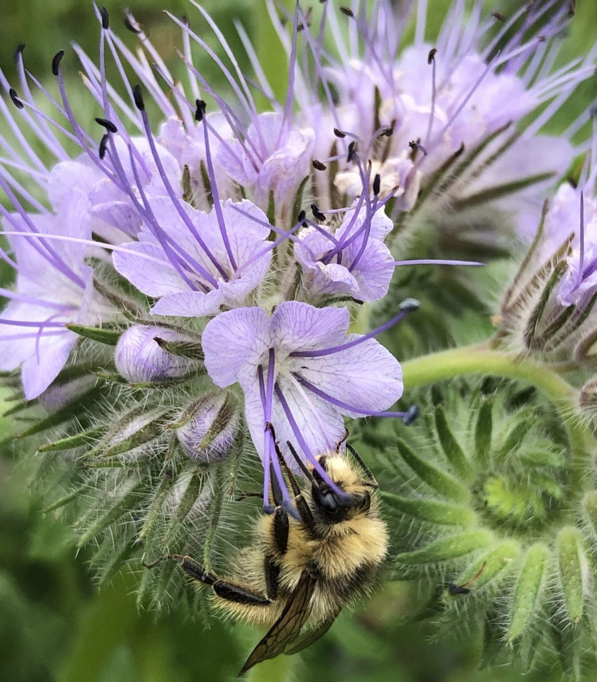 Bumble bee close up on huge purple bloom of Lacey Phacelia