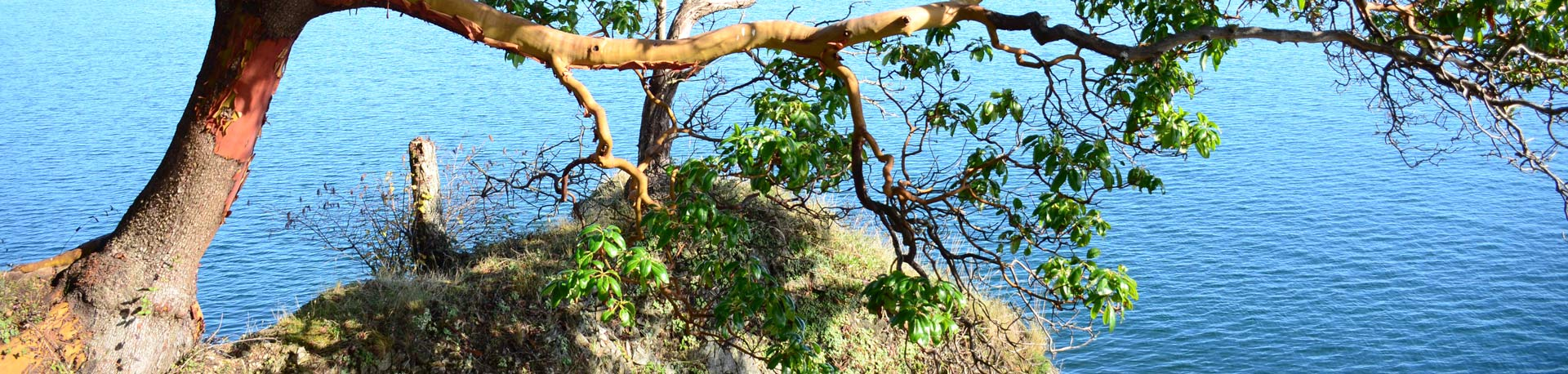 Arbutus tree stretched out over a rocky hillside with blue ocean in the background