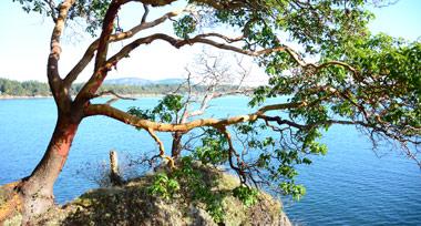 Arbutus tree on a rocky outcrop over the ocean