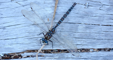 a blue dragonfly on a wooden fence beam