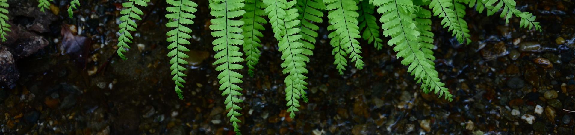 Green ferns draped over dark pebbles