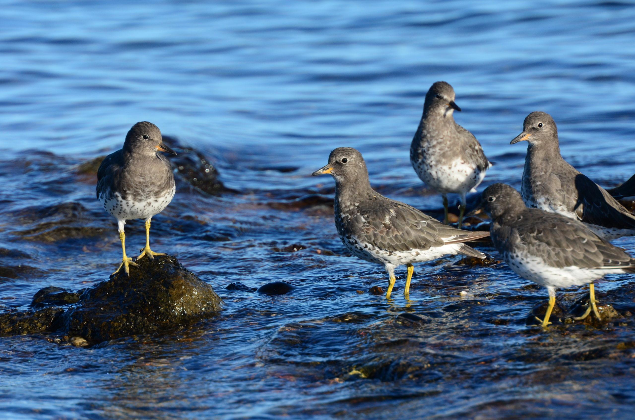 Grey and yellow surfbirds standing on shoreline rocks