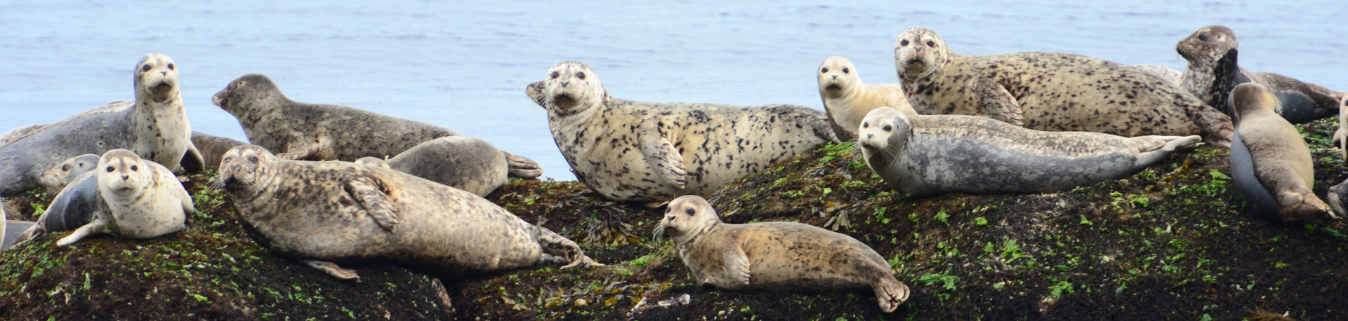 Several seals stretched out on a rock watching the camera