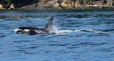 an orca breaching in the ocean