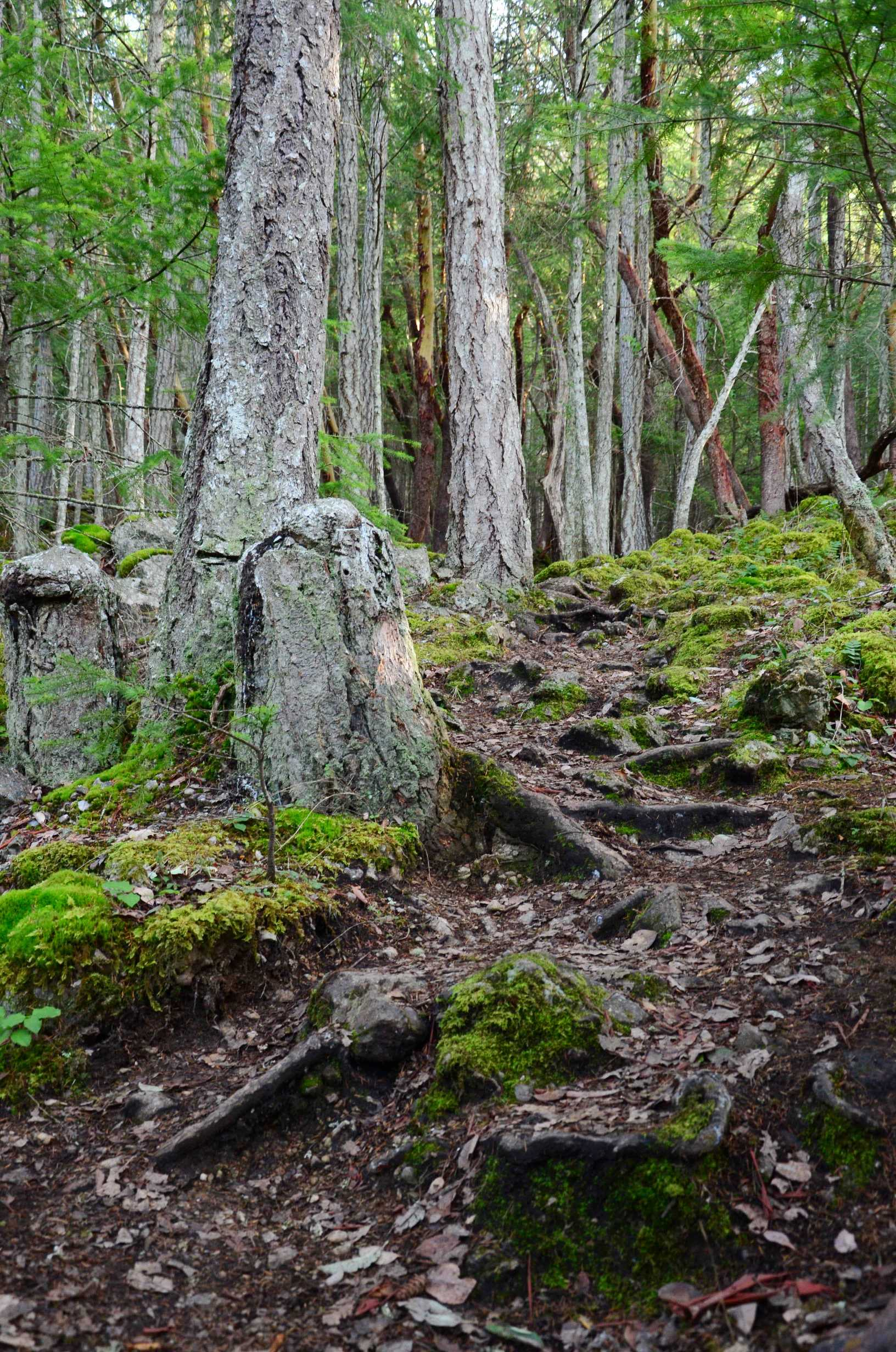 Old mossy trees and winding forest path