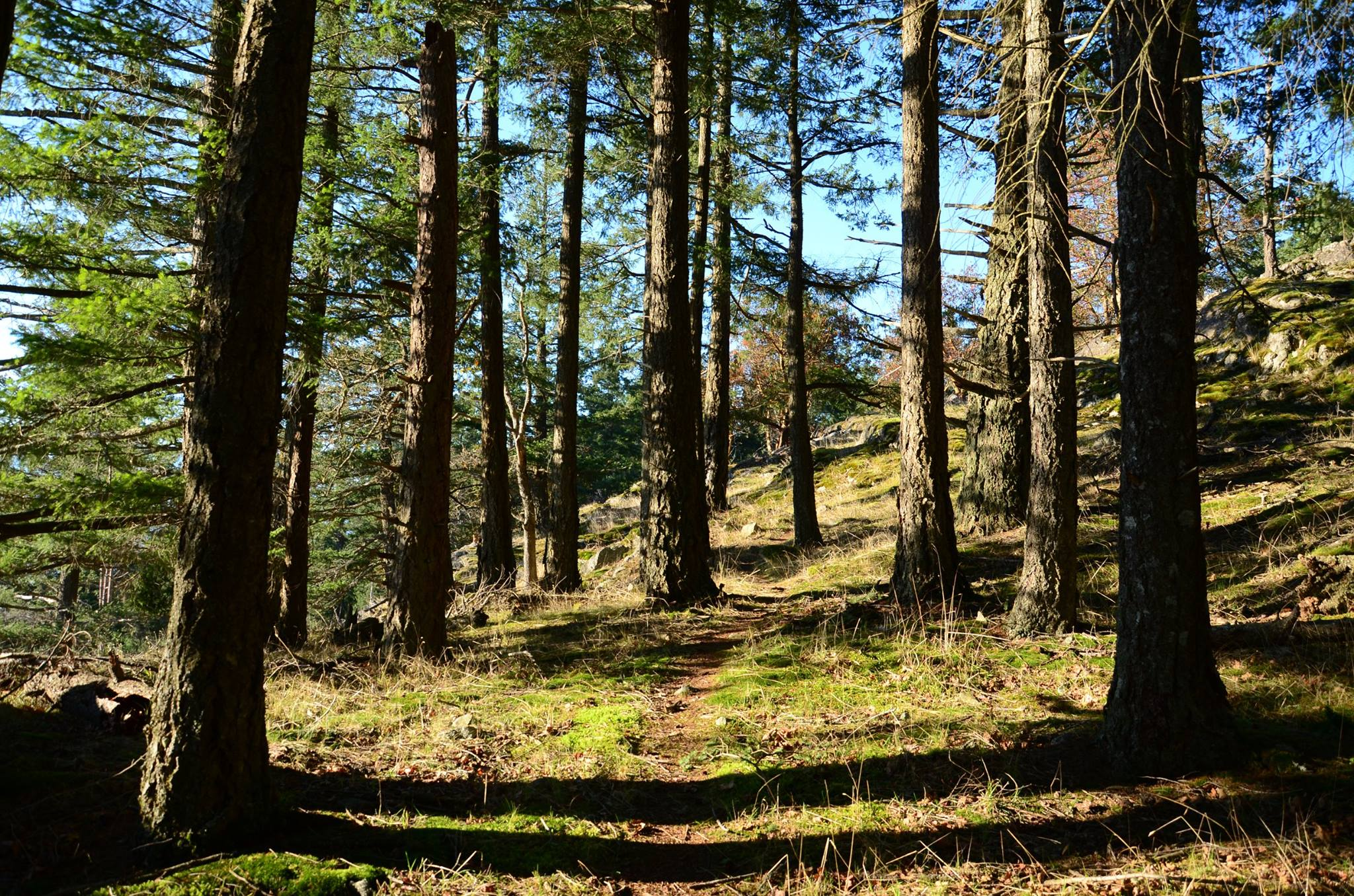 sunny woods with young trees and a trail winding through on a hillside