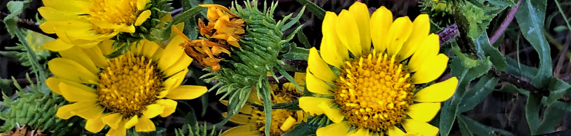 Yellow sunflowers up close and vibrant