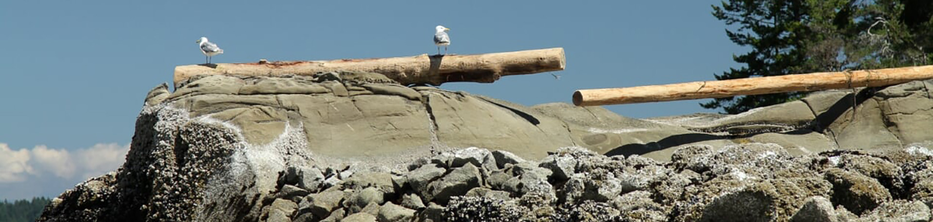 Seagulls on a log at the edge of a rocky beach