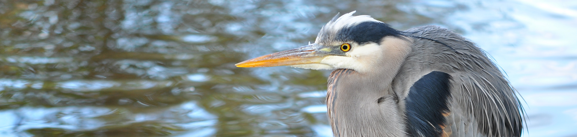 Side profile of a heron with water in the background