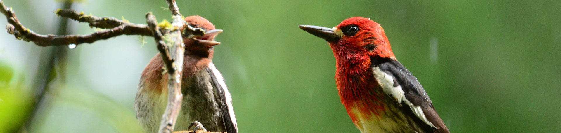 two small black and red birds facing each other on a tree branch