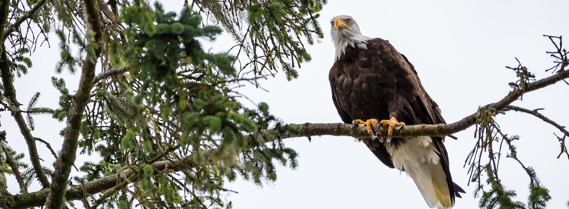 Bald Eagle perched on a thick tree branch staring down into the camera