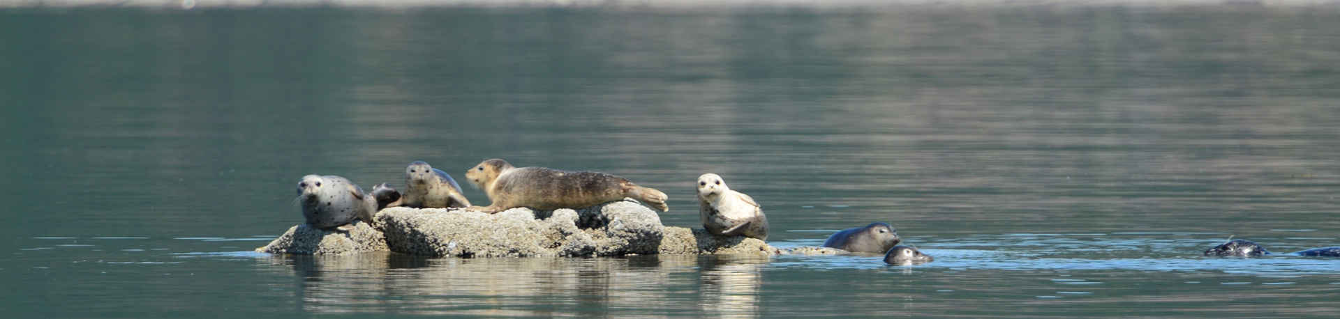 five seals sunning and swimming around a small rock in the water