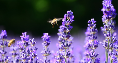 a bumblebee flying through a field of bright purple flowers