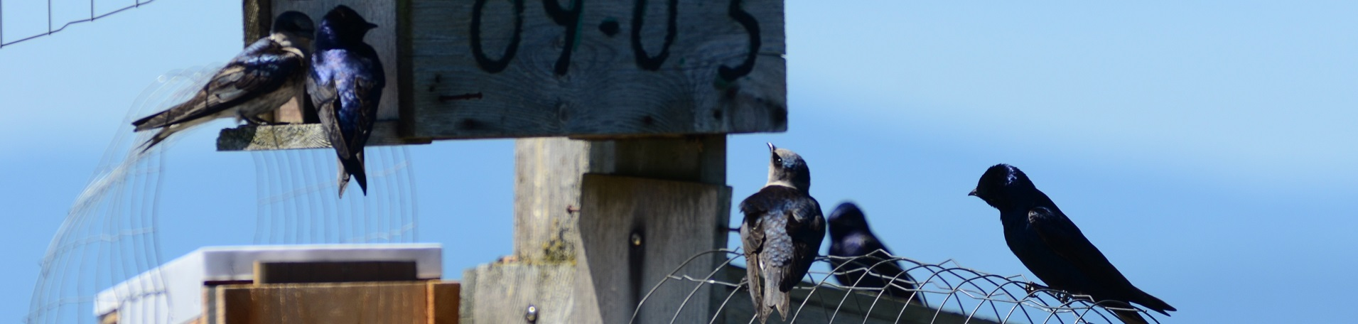 small black and blue birds perched on numbered birdfeeders outside against a blue sky backdrop