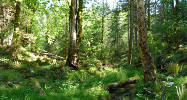 a deep green forest of ferns, grass and shrubs in the trees with a creek