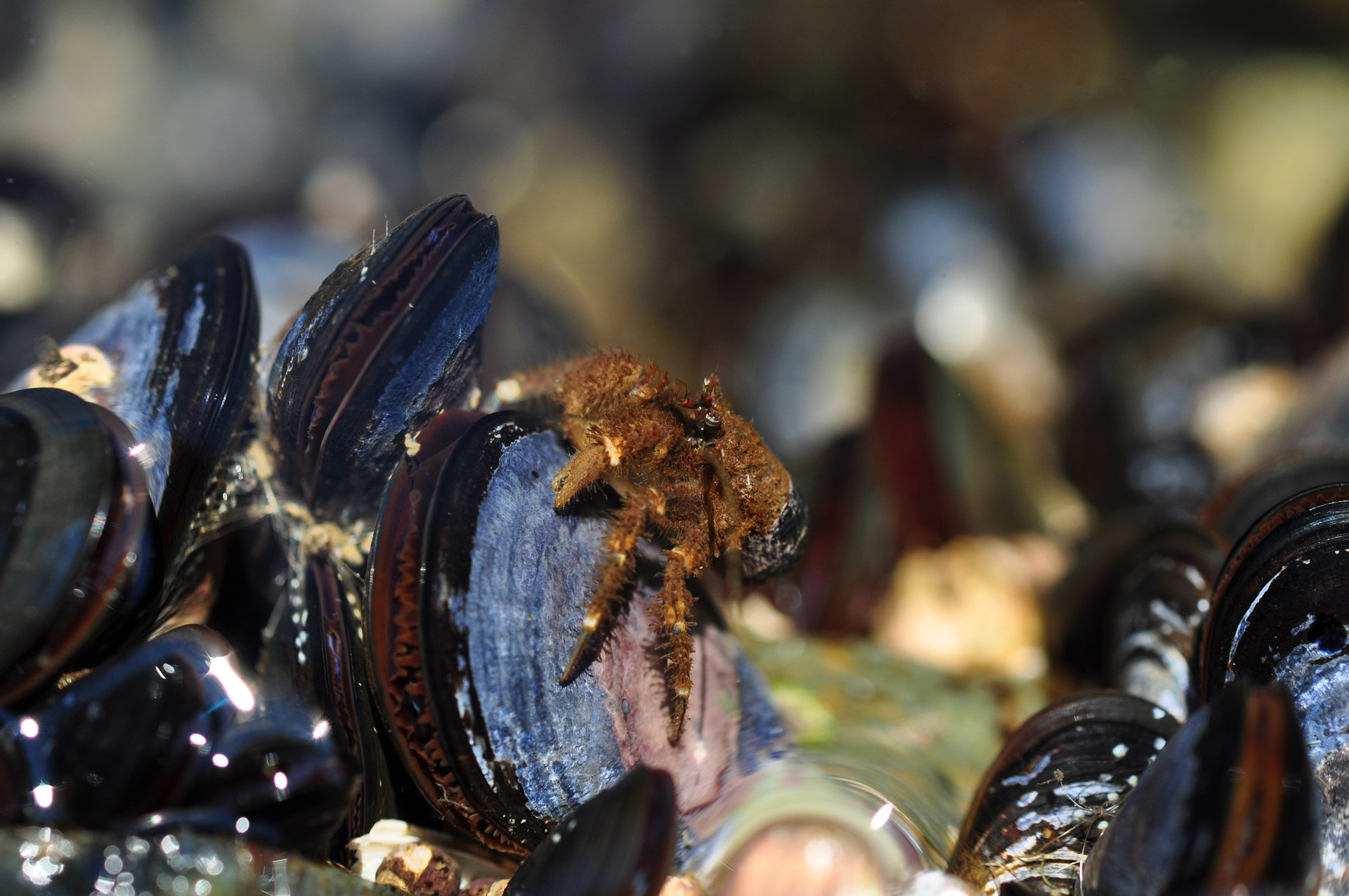 close up of a small orange hermit crab on an oyster in an oysterbed