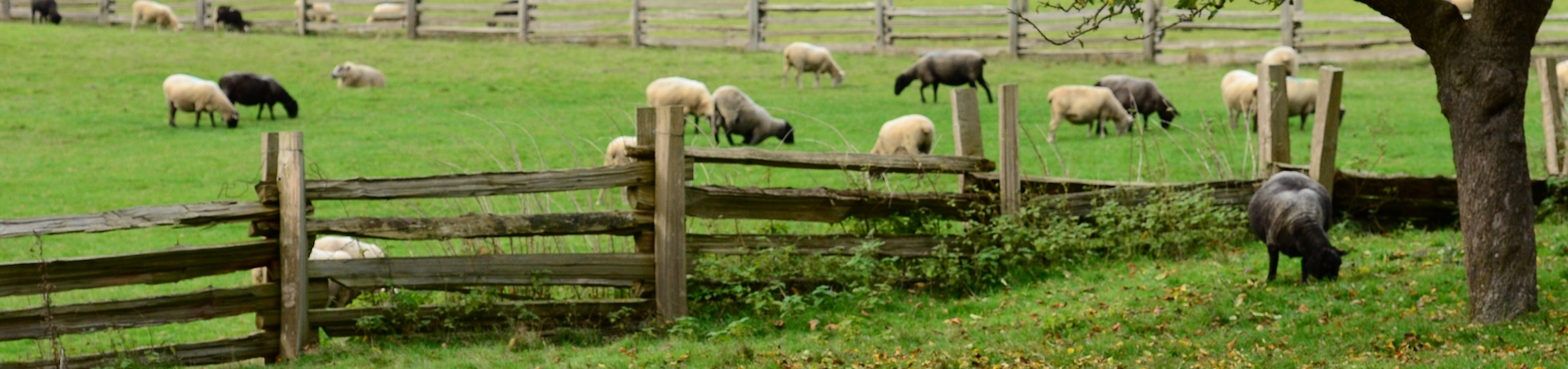 sheep grazing in a green field surrounded by a wooden fence