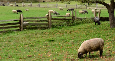 Sheep in a green field enclosed with a wooden fence