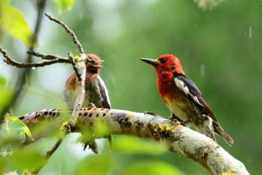 Red breasted sapsucker and fledgling on a tree branch facing eachother