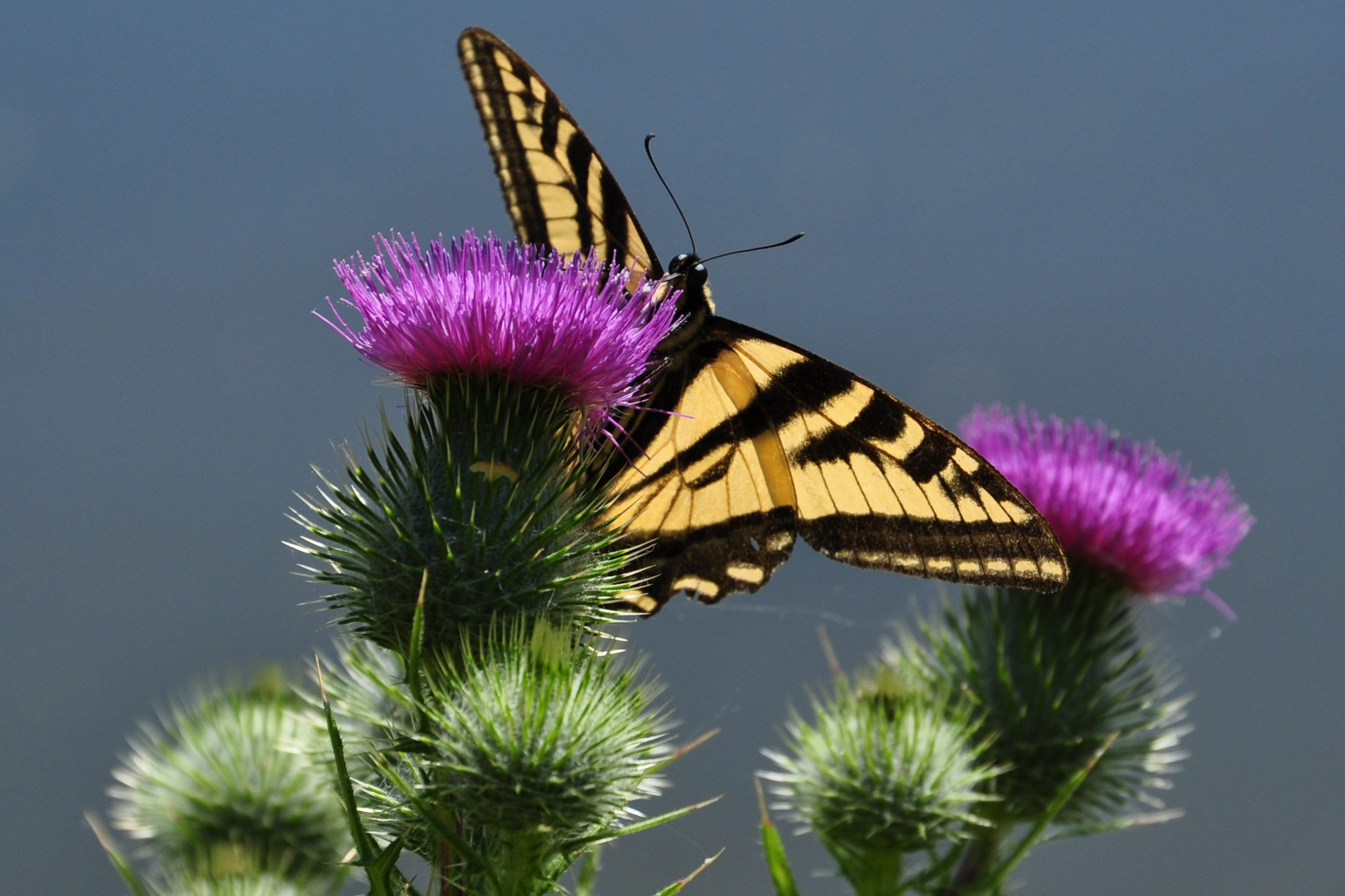 a yellow and black butterfly rests on a bright purple flower