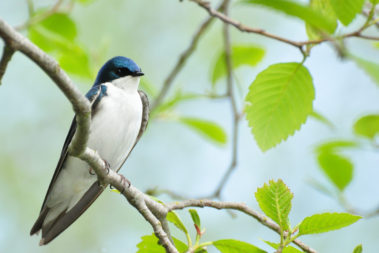 blue and white tree swallow on a branch with neon green leaves