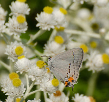A grey and orange butterfly perched on white and yellow flowers with a