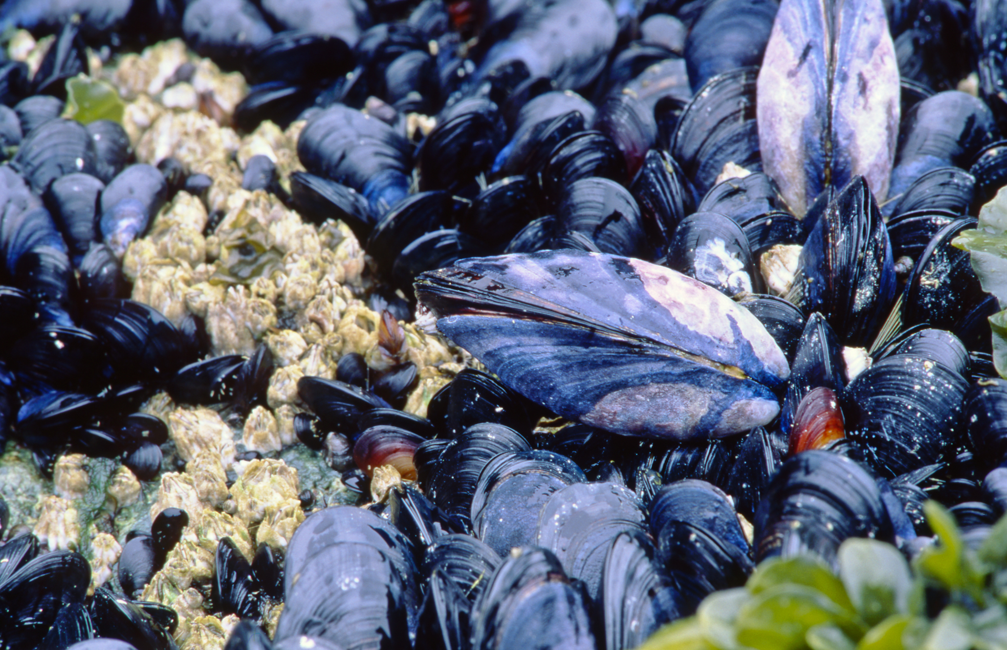 indigo hued muscles clustered in a bed of seaweed and barnacles