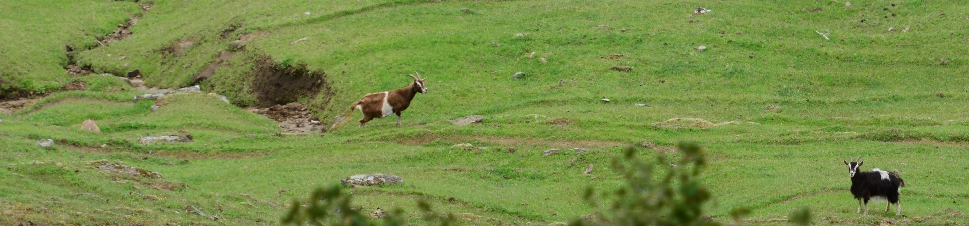 two goats in a big green field