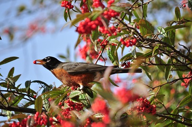 a robin eating a red berry on the branch of a red berry tree