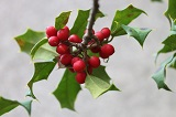 English Holly with red berries and green leaves