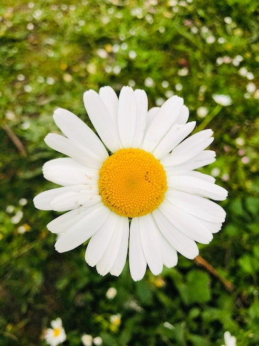 A daisy in the grass